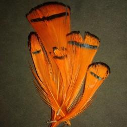 zlatý bažant - Orange